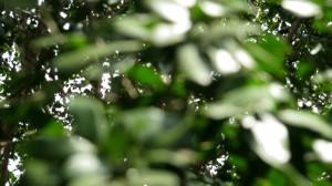 Shiny lignum vitae leaves