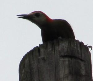 Woodpecker July 3 2010