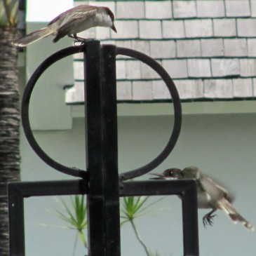 Loggerhead Kingbirds mating dance