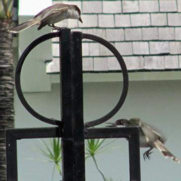 Loggerhead Kingbirds mating dance