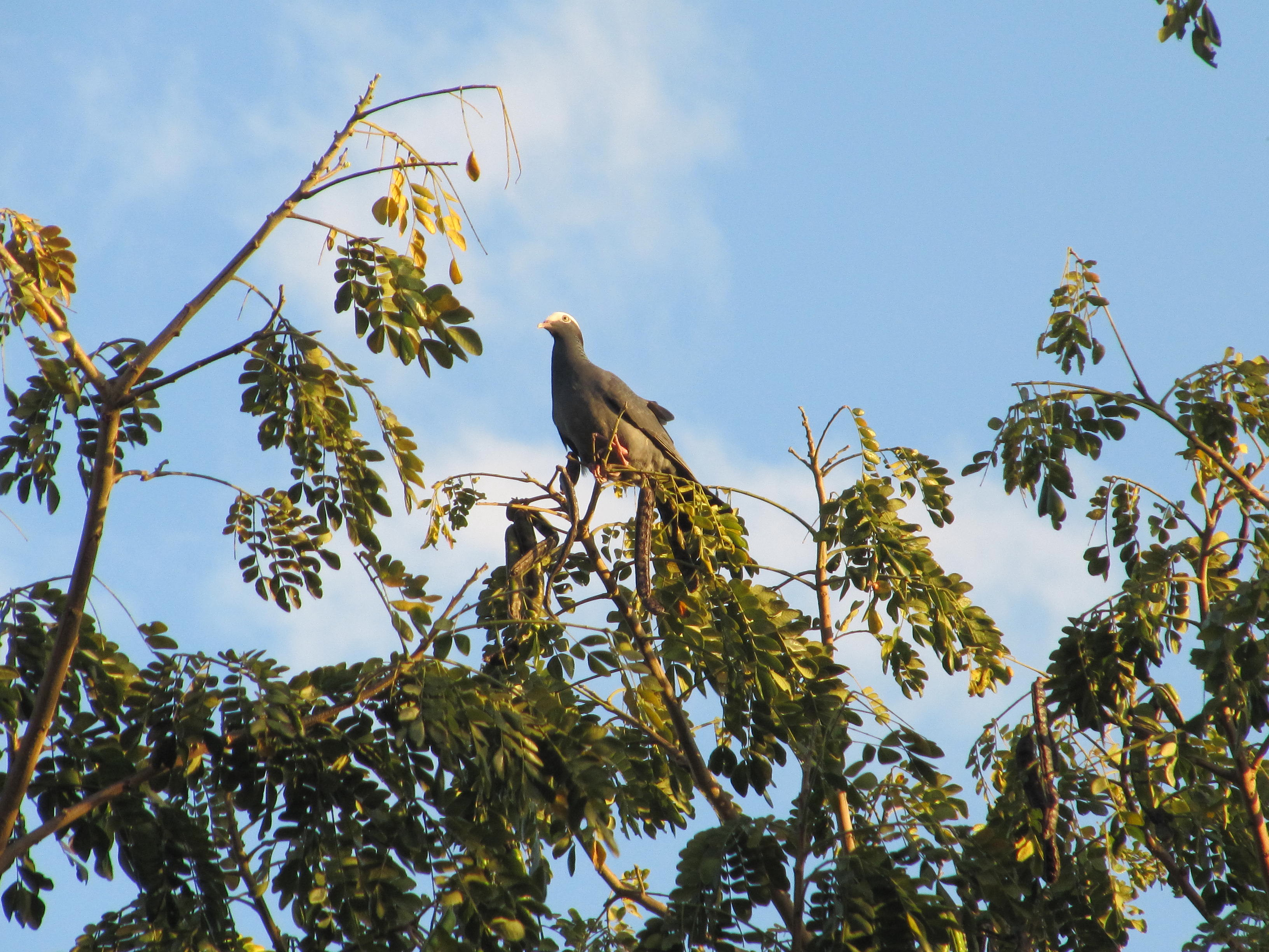 White-Crowned Pigeon at the top of our guango tree