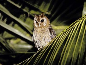 Jamaican Owl, an endemic species