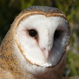 The beautiful Jamaican Barn Owl