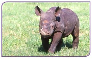 A baby Black Rhino
