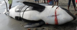 An orca killed in St. Vincent and the Grenadines