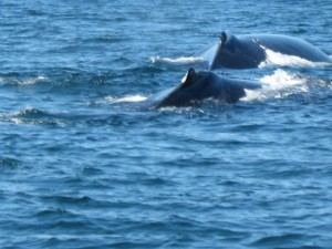 Two humpback whales, Monterey, California