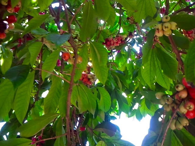 This is an otaheite apple tree, which is also known as a Malay Apple, Pommerac, etc. It bears no resemblance to, say, a Golden Delicious.