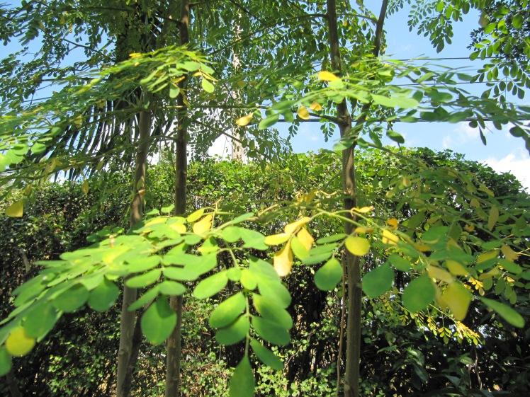 The fluttering moringa leaves.