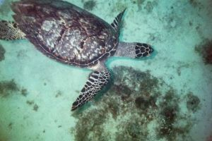 A sea turtle in Negril, Jamaica. (Photo: escuba.com.au website)