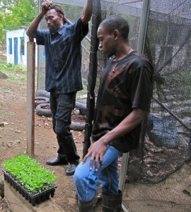 Mr. Lenford Brown (left) and Mr. Clinton Bailey with new sweet pepper seedlings, at the Trinityville greenhouse. (My photo)