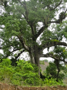 One of the very few large trees in the area - a magnificent cotton tree, which I fell in love with. (My photo)