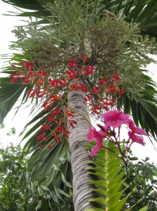 I had to include this photo of two orchid plants flowering on our palm tree...
