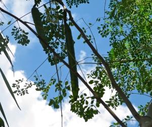 Seed pods on our moringa tree.