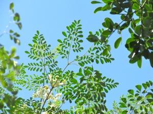 Our moringa trees are still flowering.
