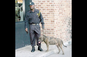 The offending pit bull dog, which remained on duty despite having attacked a passerby, and his handler - after the attack. We do not know the name of the security company, for some reason. (Photo: Jamaica Observer)