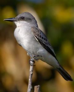 The imperious Gray Kingbird (Tyrannus dominicensis) or Petchary.
