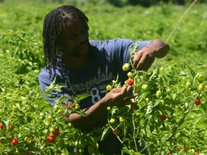 Farmer Paul Henry checks a pepper plant for insects and other potential infestation on the farm in Quebec, St Mary, where the crop is cultivated for the Grace Agro Processors Division, Hounslow, St Elizabeth, where it is used to make pepper mash.-(Photo: Christopher Serju)