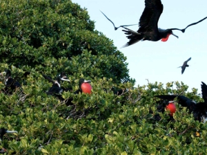 Magnificent Frigate Birds in Portland Bight, southern Jamaica, which was designated a wetland of international importance under the Ramsar convention seven years ago. (Photo: Gleaner)