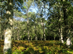 This woodland, with dying bracken turning golden brown, is filled with bluebells in the spring.