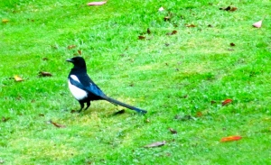 A magpie. One for sorrow, two for joy, three for a girl...