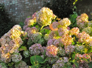 Hydrangeas in the evening light.