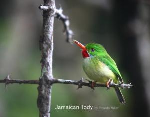 jamaican-tody_RicardoMiller
