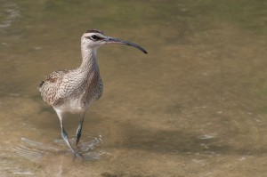 An emaciated and famished Whimbrel arrives safely to a wetland in Saint Martin, after flying thousands of miles from its breeding grounds in Alaska or Canada.  Étang de la Barrière, Cul-de-Sac, Saint Martin. September 16, 2013. Photographer: Mark Yokoyama