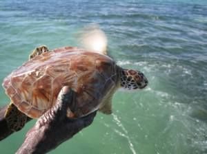 A young turtle in the Portland Bight Protected Area. (Photo: C-CAM)