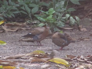Zenaida Doves pottering around in our yard. They are always in twos...
