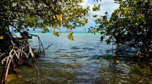 """The pristine (NOT """"degraded"""") mangrove at Goat Islands. (Photo: Max Earle)"""