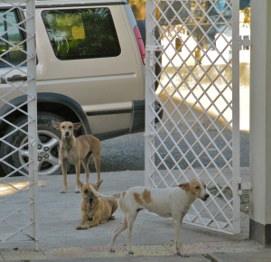 The hopeful dogs wait to be invited in. Rather well-behaved, I thought.