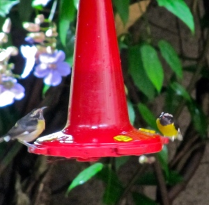 Did I mention our lovely Bananaquits?
