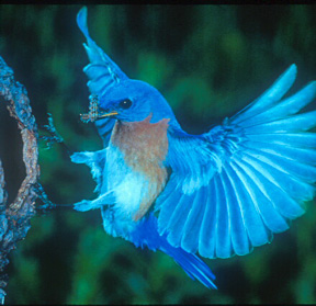 Can we stop trying to chase the bluebird of happiness? (Photo: Isidor Jeklin/Cornell Lab of Orinthology)