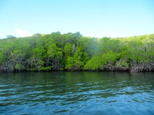 Pristine mangrove forest in the fish sanctuary at Goat Islands. The Jamaican Government has this area scheduled for destruction.