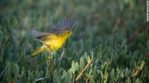 A yellow warbler on a small island in Portland Bight Protected Area, Jamaica. (Photo: Robin Moore)