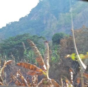 Burned banana plants.