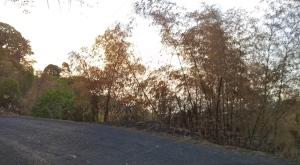 Roadside bamboo.