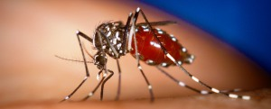 "The aedes aegypti mosquitoes that spread dengue and ""Chik V"" fevers were once restricted to tropical and sub-tropical climes but can now be found almost everywhere. There have been cases of ""Chik V"" in Texas and Florida."