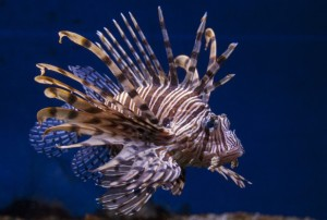 The lion fish looks very fancy but gobbles up reef fish voraciously. In turn, we humans should eat more of them. When the spines are removed I am told it is very tasty.
