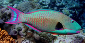 The beautiful parrotfish grazes off coral reefs, keeping them healthy. Don't eat them! They are getting fewer.