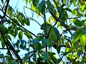 95 per cent of Jamaica's population of the endangered Black-Billed Parrot lives in the Cockpit Country. (Photo: Wendy Lee)