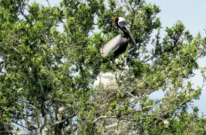 """Dear Jamaica Observer, this is not a """"heron"""" and her chicks. It's a Brown Pelican! But a great article on """"Refuse Cay."""" (Photo: Kimone Thompson)"""