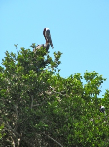 """Pelican poses for his photo on Refuge Cay. Some of our group renamed it """"Refuse Cay."""" (My photo)"""
