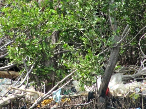 Garbage clogging the mangrove at Refuge Cay. (My photo)