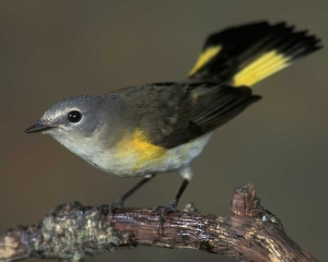 Our Butterfly Bird, the female American Redstart.