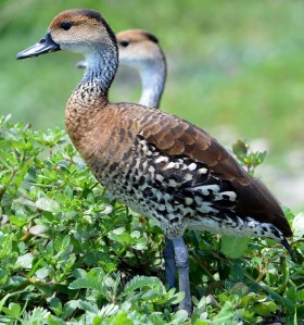 "The beautiful West Indian Whistling Duck is one of the rare species to be found in the Portland Bight Protected Area. It is now listed as ""Vulnerable"" on the International Union for the Conservation of Nature (IUCN) Red List. (Photo: Ted Lee Eubanks)"