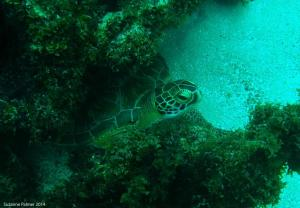 Scientists conducting a survey of coral reefs in the Portland Bight Protected Area (including Goat Islands) recently met up with this endangered Green Sea Turtle near Big Pelican Cay. The survey is sponsored by the Waitt Foundation.