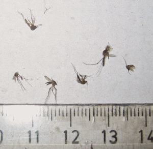 Zapped Aedes aegypti mosquitoes.  The small divisions on the scale are millimeters.