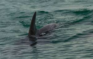 The Caribbean Coastal Area Management Foundation (C-CAM) captured this photo of a dolphin close to Goat Island. Several more were diving under the boat at the time. (Photo: C-CAM)