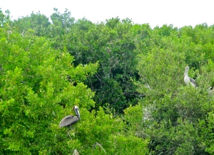 Brown Pelicans nesting in Refuge Cay, in the Palisadoes mangroves. This Ramsar site has been partially destroyed by the engineering work to raise and protect the airport road. The builders, China Harbour Engineering Company, promised to replant the destroyed mangroves, but to date have not. (My photo)